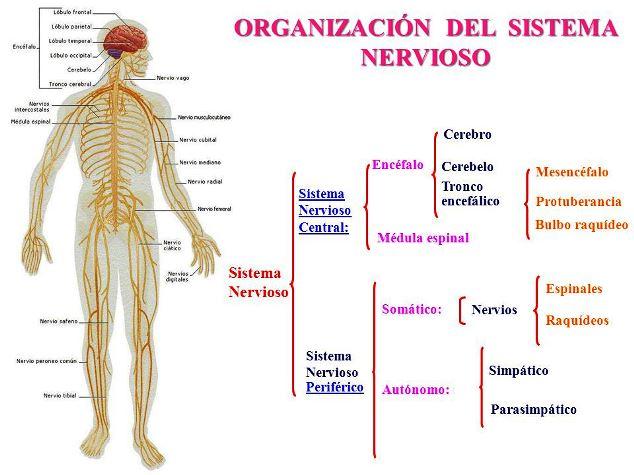 ¿Cómo se divide el sistema nervioso?