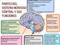 El órgano principal del sistema nervioso