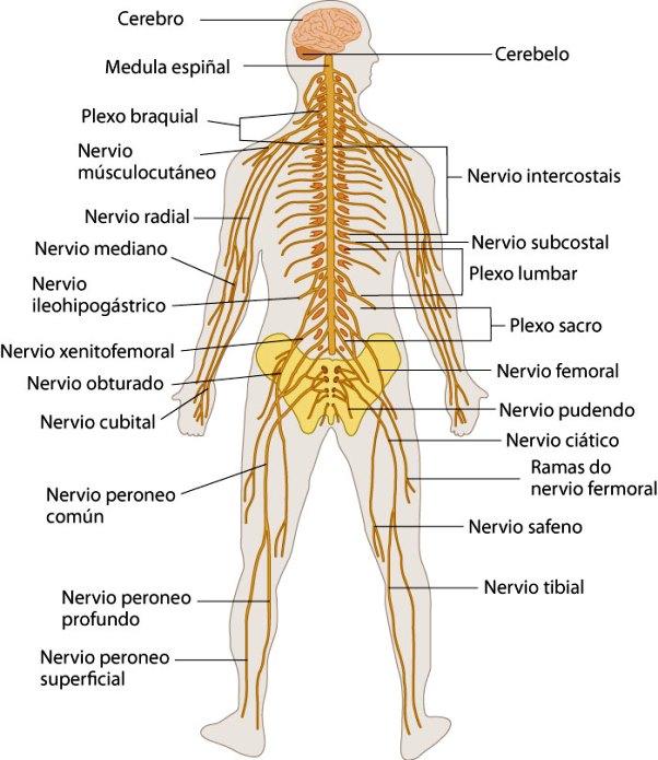 ¿Cuáles son los órganos del sistema nervioso?