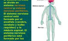 ¿Cuáles son las partes del sistema nervioso?