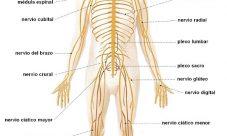 ¿Dónde se encuentra el sistema nervioso?