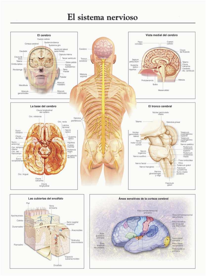 Cómo está compuesto el sistema nervioso
