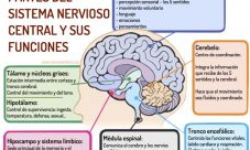 Qué es el sistema nervioso central