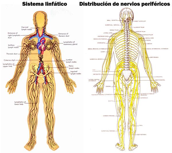 Qué es el sistema nervioso linfático