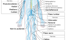 Qué es el sistema nervioso periférico