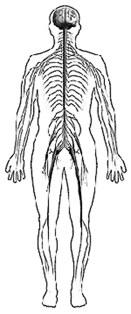 Sistema nervioso para colorear