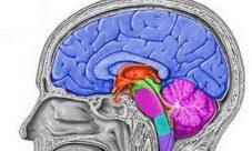 Órganos del sistema nervioso central