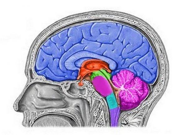 conoce los órganos del sistema nervioso central