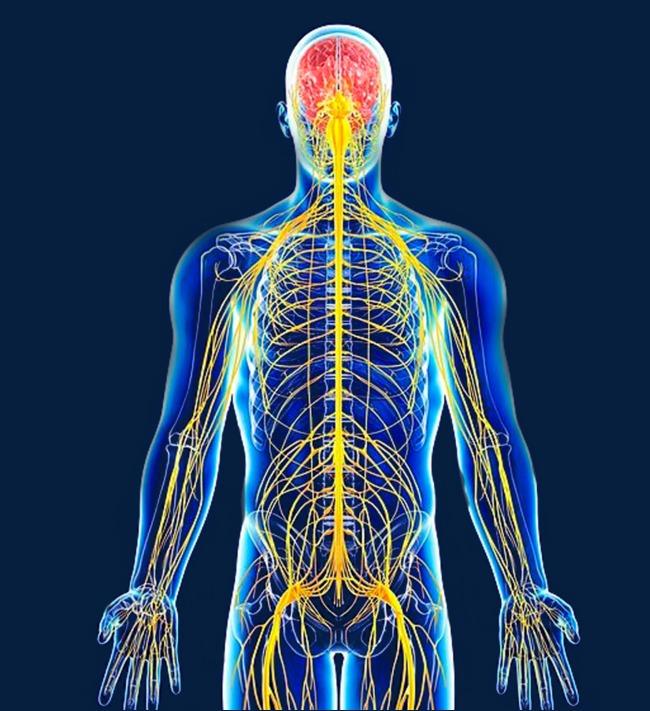 rasgos principales del sistema nervioso