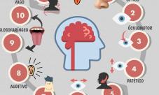 Cuál es la función de los nervios craneales