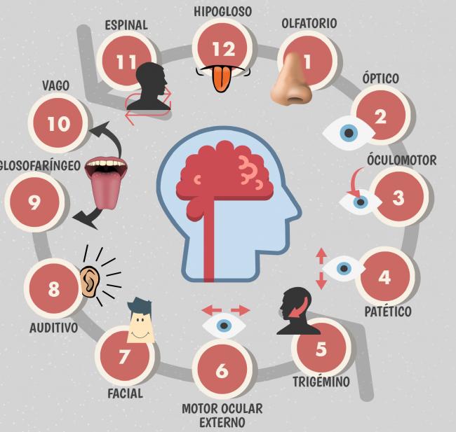 conoce cuál es la función de los nervios craneales
