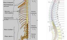 Cuáles son los nervios espinales