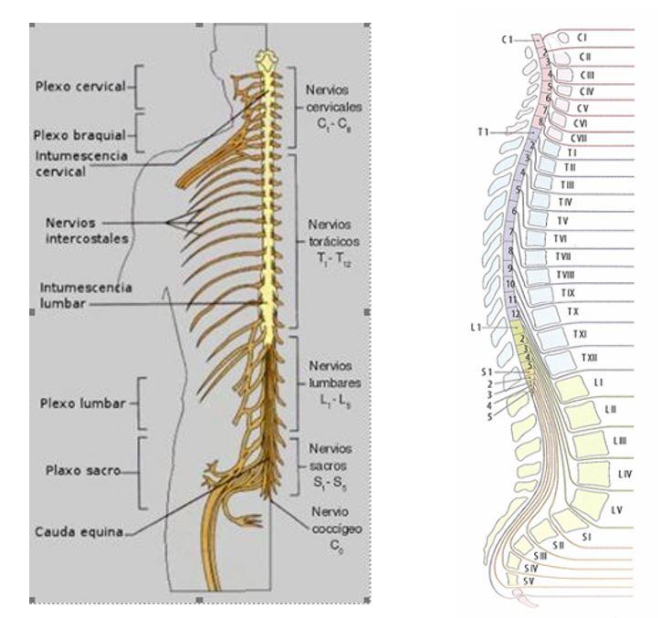 aprende cuáles son los nervios espinales