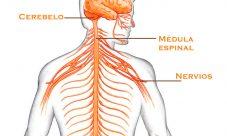 Cuáles son los nervios periféricos