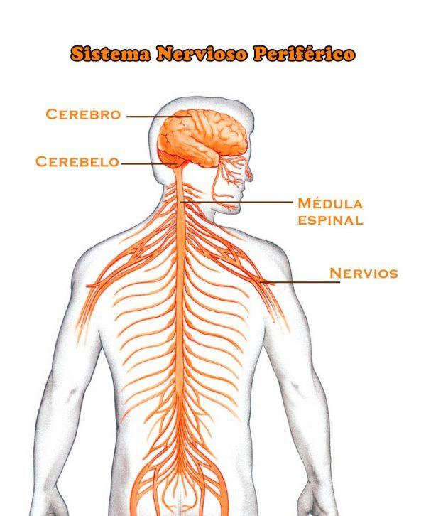 conoce cuáles son los nervios periféricos