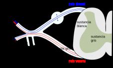Cuáles son los nervios raquídeos