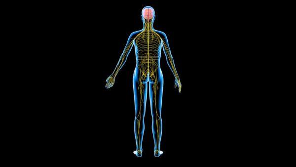 aprende cuántos nervios tiene el cuerpo humano