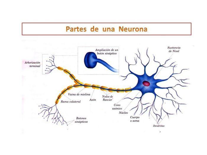 descubre las partes de una neurona