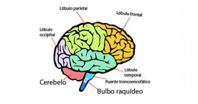aprende las partes del cerebro y sus funciones