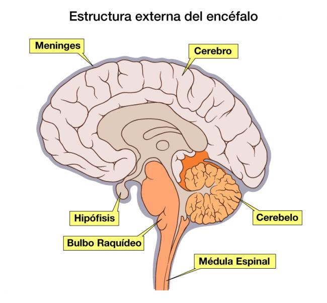 conoce las partes del encéfalo