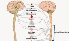 Qué es el sistema nervioso autónomo