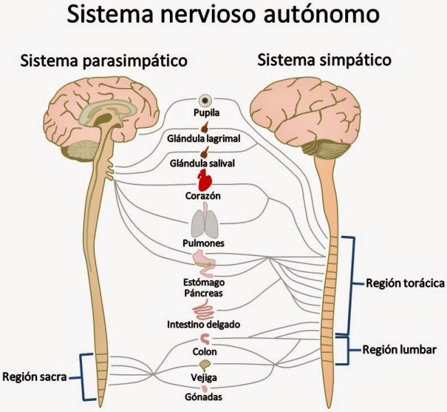aprende qué es el sistema nervioso autónomo