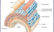 Qué es el sistema nervioso entérico