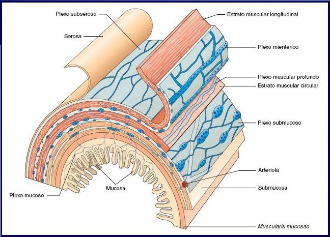 conoce qué es el sistema nervioso entérico
